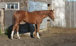 For sale: 6 year old Chestnut gelding. Sound. First and 2nd  pic on here. $2000.00 7 year old mare: Excellent breeding, out of Deputy Commander and American Affair. $2000.00 3rd and 4th pic.   5 year old mare. 5th pic. Sound. $1000.00 out of You got