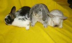 Three young male rabbits needing their own places to hang out in. Super friendly, very nice young bunnies ready for their own homes. Second pic. this is a purebred holland lop boy, his colour is broken sable. $30. Third pic. This is a very nice purebred