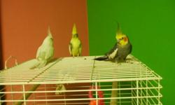 I have three cockatiels for sale.  One is an albino female.  The other two are grey/yellow males.  All are hand tamed and the two greys are very friendly.  All have been raised with children.  The albino is $100, the two greys are $75 OBO.  The cage is