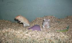 I have three female gerbils for sale for 5$ each or all three for 10$.  These are for pet homes only and are not for feeding to snakes and such.  One is a light tan, one is grey and the other is silver and white.  Fairly friendly but are not handled often