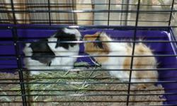 Three beautiful Guinea Pigs looking for a family to take them home.These three little beauties can be sold separately for 10.00 each, all females. I had high hopes of sending them to their new home together but that is a lot to ask for :-(. Please pass