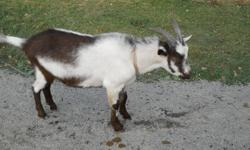 Bobby needs a new home. He was supposed to be a French Alpine but now that he is mature he actually appears to be a Toggenburg/African Pygmy cross . Just born in the spring of 2011, Bobby is a gentle little guy that won't grow any larger than he is right