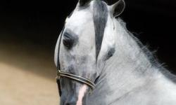 "I have a registered 3 yr old grey, 34"" AMHA/AMHR gelding well broke to drive. He has completed a HOF in pleasure driving this year with over 10 stake wins. He was Rs. National Super G Futurity Champion in pleasure driving at this year's  AMHR National"