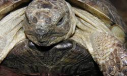 Experienced and fanatical tortoise keeper has limited room for tortoises in need of a great home. We are a tortoise loving family with years of experience and many resources available to care for most chelonia. We only have limited room for the sulcatta