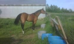 9 year old unregistered quarter horse mare.  Have taken her on trail rides, ditch riding, sorting, etc.  Not a hard core competition horse but great pleasure horse.  Trailers, ferrier, ABSOLUTLY NO BUCK, not a run away.  Not for small children but older