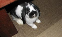 """Well, his name is """"Buck Buck"""" (because thats what the cadbury easter bunny says) he is an amazing black and white lop eared bunny that is very obiedient. he comes when hes called and uses his litter box, even when running around my home.  He is an intact"""