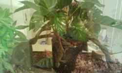 I am selling a tree lizard tank water dish plants.... Phone amanda 2034519