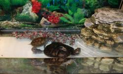 For sale one red ear slider and map turtle with two pleco fish. (the fish help keep unwanted algae growth under control in the aquarium). Includes tank (3 ft x 1.5 ft x 1 ft), two lights (with heat and daylight bulb), decorative reptofilter(creates a