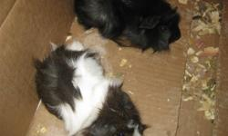 I have two baby guinea pigs for sale.I'll throw you in a food dish with it and a water bottle for just for $5.00. The guinea pigs were born september 15,2011. They are both boys! MUST BE SOLD FAST!!!!!!!!!!!!!