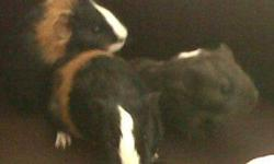 Two adorable, male, seven week old guinea pigs for sale for $10.00 dollars for both. One is black, white and orange and has a mohawk in the middle of his head, and the other is light black, almost grey, with a few spots of white. I would prefer that these