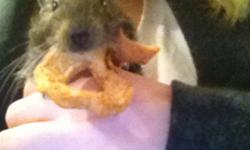 Two Degus must go! I have two male Degus that must go to a Loving forever home. Would Make a wonderful Christmas gift. They are very low maintenance and very affectionate. They come with the full size cage, food, exercise wheel, food dish, water dispenser