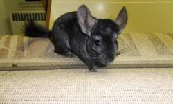 I have two pet quality chinchillas available for sale, they are about 3 years old, and one is dark ebony and the other one is brown velvet. These two girls were not bred by me, they were purchased as pets when I started breeding and researching about