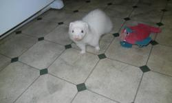 Ferrets North Information and Rescue Society present: Silva and Zoe! Silva and Zoe are searching for their forever home! They are a pair of young, petite female ferrets - 1.5-2yrs old - who are fun and friendly. These two get along with other ferrets and