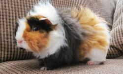 I have two female guinea pigs left looking for a new home, as I no longer have the time to give them the attention they deserve. They are both rather vocal [especially around feeding time], and sometimes a little bit sassy. They have a lot of attitude and