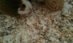 Sister guinea pigs just turned 1 year old, very well behaved must sell due to allergies. Cage, toys and other accessories included. We have modified their regular cage to a larger play area so the can freely move about.