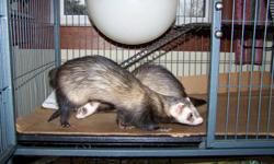 Two ferrets,  Joshua and Lola,  Health records, walking leash, three tier cage with ladders,  sleeping balls ,  they like to be out in a closed door room to play together .