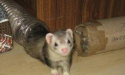 These two come as a pair. They really are best friends and play very well together. They are available only to serious ferret lovers who know what is involved in their care. If you want a pet that just looks cute in a cage, these are not for you. Ferrets