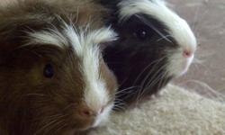I have two male guinea pigs for sale - they should go together as they are bonded. They will make great pets! They are super cute and looking for a new home. They are ready to go now - and will come with a small amount of feed they are used too. Im asking