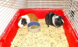 Two male guinea pigs and cage for sale. Cage is 39x20x18, includes two water bottles, food dish and log toy.  Very cute but daughter does not want them anymore. $40.00 OBO.  Would make a great Christmas present for your kids!