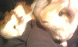 We are moving and have two awsome guinea pigs for sale and must be sold by Janurary 15th. They are both brown and white.One is bigger than the other. items that are included are:   Guinea pig bin Guinea pig hut Food dish Water bottle Some bedding Hay