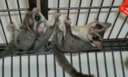 I am returning to school & do not have the time to spend with my gliders that they are used to. They are tamed, and will take treats from your hand. Price includes cage, bonding pouches, toys, accessories & food. Not a good pet for small children. Must go