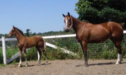 Swala - born 2004, Standardbred , 16.2 (ish) chestnut w/ very unique markings, green broke suitable for trail riding/ pleasure horse, had 1 filly 2 years ago $1000 Whisper Trace - born 2004, Standardbred, 16hh (ish) bay w/ no markings, easy to ride