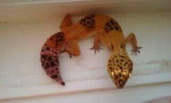 i have two leopard geckos i am looking to sell, they are around 1-year old and have been in the same tank together since they hatched.Both are pretty hand friendly. i am including their tank (which i think is 15-20 gallon) as well as a heating pad for the