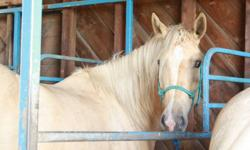 I have two Palimino's for sale. One is a five year old mare and the other is her two and a half year old filly. Their names are Promise and Willow. Promise, the mare, was trained at two years, and Willow has only been started with ground work. They both