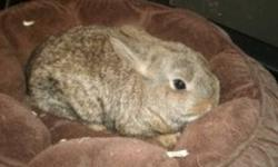 Rebeccas Rabbit Rescue currently has two adorable female Holland lop mixes available. Thier ears should drop, they have great personalities and are handlable! If wanting both the adoption fee would only be $30, otherwise it is $20:) They do not come with