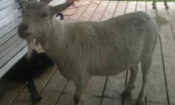 Two female goats, around 2 years old. They are Pygmy cross. They are both friendly and would make excellent petting zoo animals. They must go together. Asking $100 for the pair. This ad was posted with the Kijiji Classifieds app.