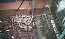 hi I am selling two snakes for a friend they are a dark color corn snake about 1 year old and a ball python about 3 years old. She is asking 300 for the pair or 150 each no low balls pls they are both friendly and have never bit and are handled regularly