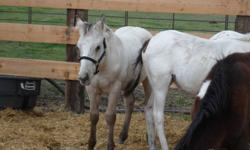 1. Dusty is a buckskin appy stud colt. Started halterbreaking, nice temperment. Easy going horse, weanling not registered.  2. Elvis is a grey qh stud colt. started halterbreaking also. very nice looking horse. not registered.   $400 if you take both.