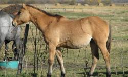 """""""Stitch"""" (Prairie Flood) is a well built filly. She is halter broke, tie broke and picks feet well. She was born late, but has caught up to the others and is looking very good. She is a granddaughter of Blueboy Quincy on the bottom and goes back to Two"""