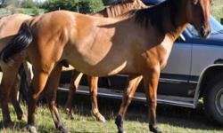 Two year old zebra dun registered quarter horse gelding.  Sired by Docs All Dun Kiddin out of Swift Moonshine.  Should mature 15.1 or bigger.  Stands 14.3+ now.  30 days riding with a professional trainer in October.  Ridden inside and out, in arena and