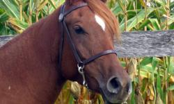 Aprox 5 year old quarab mare. 14.0hh. Green broke walk, trot. Very smooth. No buck, bolt or rear. Great manners. Lunges with or without tack. Ties, cross ties. Great with farrier. Bridles like a dream. Has free jumped. Very flashy mover. Terrific