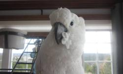 Looking for a home for our 3 year old Cockatoo.