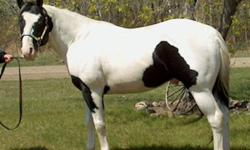 Registered APHA10 year old black & white stallion.STRAIT STARBUCK ROBIN Son of world champion Strait From Texas. He's been shown in reining, cutting, and working cowhorse. This stallion passes on his sound mind and color to his foals, that are easy to