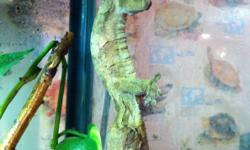 I have a proven pair of leaf tail geckos, this is a bonded pair and are in excellent health. I'm asking $300 obo for the pair. Does not come with cage. This ad was posted with the Kijiji Classifieds app.