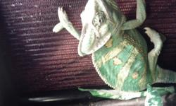 I have for sale a veiled chameleon the only reason for selling him is I'm always busy or not around so he's not handled much any more. I want him and all of his accesories to go to a good home. comes with a cage lots of sticks and veins 2 different