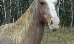 Registered F W Trademark's Kelsy 13 yr old Tennessee Walking Horse Mare Exceptional trail horse, very quiet and well mannered. Would make an excellent Husband horse or second family horse. Up to date on all shots, worming, farrier and dental work,