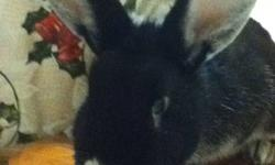 Bugzy is in need of a good home. He is a healthy good little rabbit who has NEVER bitten us once and does NOT scratch or kick. We just don't have the time for him anymore. Please email if interested. Gender: Male Age: Born March 28th/2010 Personality: