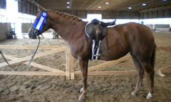 Calla is a 4, coming 5 years old in March qh mare who stands at 14.1hh. She is very flashy looking and catches the judges eye in the show ring. She goes w/t/c and can jump a 2' course with a rider, has been free jumped 3'. Is perfect on trails and has