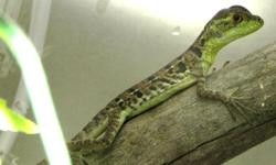 4 week old captive bred Jesus lizards for sale! Only 5 left! If you are unfamiliar with this type of lizard please watch this: http://www.youtube.com/watch?v=TvocwC_UVcg The green basilisk lizard is also called a plumed or double-crested basilisk; but its