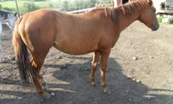 trouble is a 2yr old unregistered QH filly. she is atleast 15hh now, should make 15.2hh or more. lots of leg, nice slow, smooth mover. should be quite athletic. very friendly, can catch her anywhere. i got her by fluke as a weanling, and havent done much