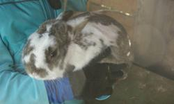 Very tame lovely male brown and white pet bunny. Cottontail loves to be held. We need to downsize, so would like him to go to a loving home. We have owned him since he was a baby. Cottontail is about two years old. He is very gentle and loves attention!
