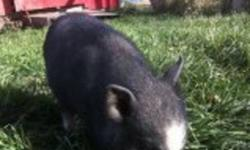 2 month old mini pot belly pig. Black with white down his snout and four white socks. Please call 780 354 4394 or 780 605 0690 Thanks