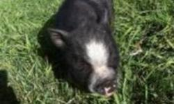 2 month old mini pot belly pig. Friendly and cute as a button!! Black with white down his snout and four white socks. Please call 780 354 4394 or 780 605 0690 Thanks This ad was posted with the Kijiji Classifieds app.