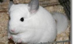 Will take in any unwanted chinchillas! we have lots of time and a huge built cage for them. im really wanting a female chinchilla and like the colors, black, black with light tummy(black velvet) white(mozaic) light tan (beige) or smokey with lighter tummy