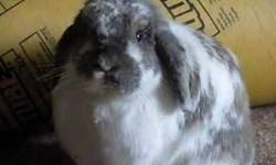 Looking to purchase Holland Lopp rabbits, or other breeds(depending on the breed and color) I would rather purchase baby bunny's but will also consider purchasing adult rabbits(depending on color and sex). They will be family pets, we have 3 Holland