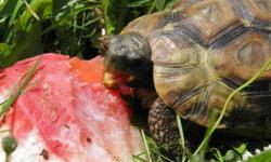 Looking for female Kinixys Belliana to start a breeding group in an effort to conserve this species in Canada. I am an experienced tortoise breeder and have 2 mature males waiting for females. Please contact me if you have any or know of any available. I